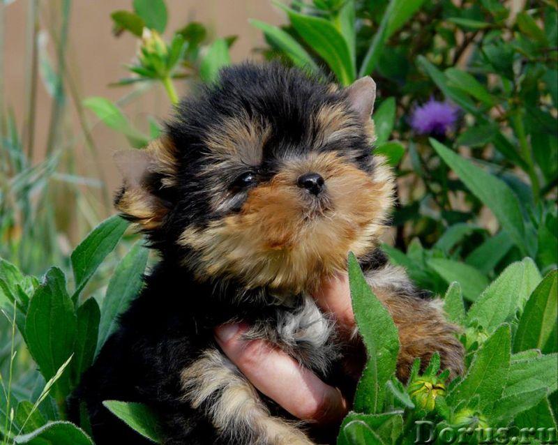 Йоркширские терьеры щенки - Собаки и щенки - Красивые щенки йоркширкого терьера от европейских интер..., фото 1