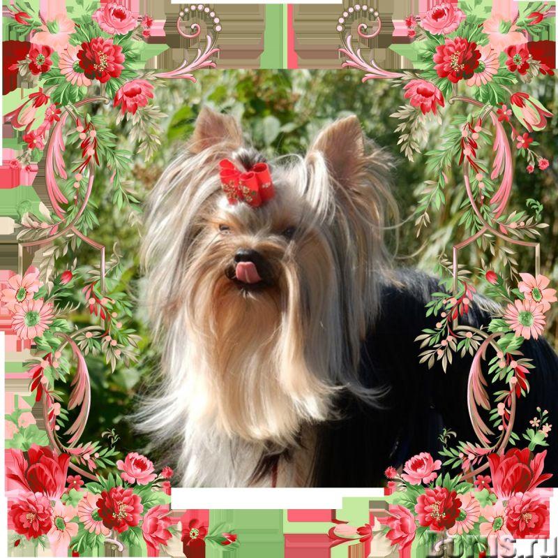 Йоркширские терьеры щенки - Собаки и щенки - Красивые щенки йоркширкого терьера от европейских интер..., фото 2
