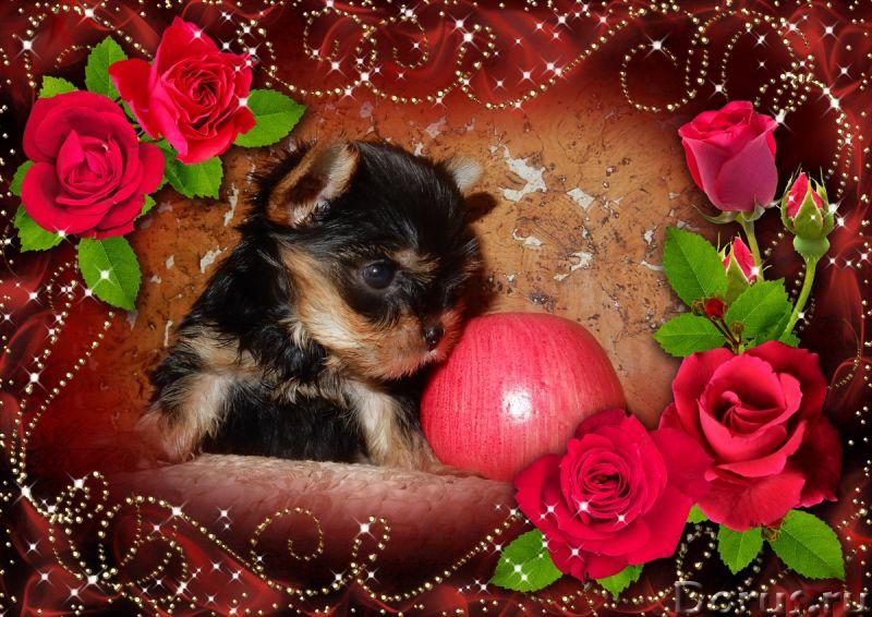 Йоркширские терьеры щенки - Собаки и щенки - Красивые щенки йоркширкого терьера от европейских интер..., фото 3