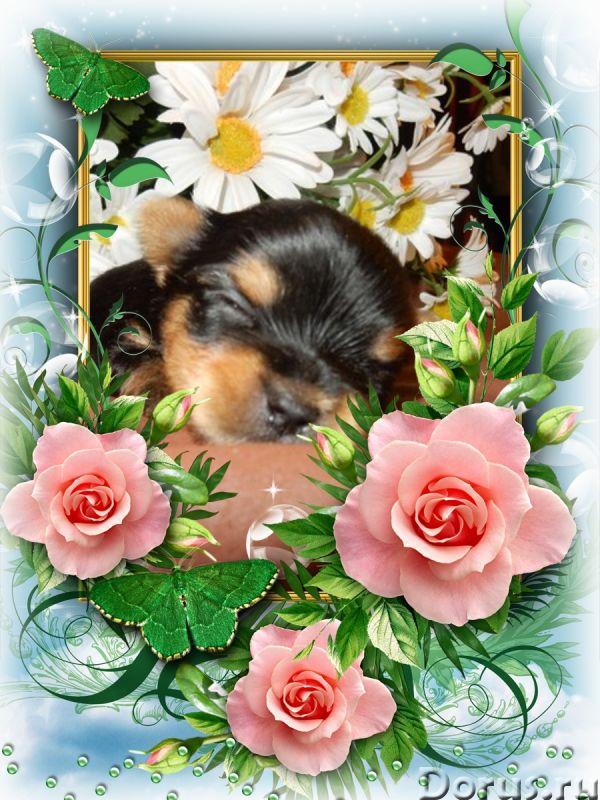 Йоркширские терьеры щенки - Собаки и щенки - Красивые щенки йоркширкого терьера от европейских интер..., фото 4