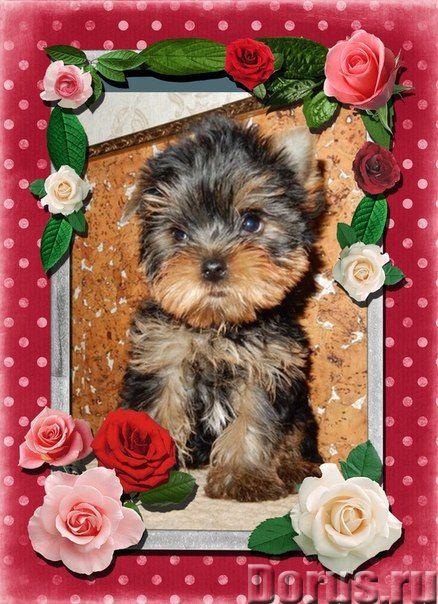 Щенки йорка доставка - Собаки и щенки - Очаровательные щеночки йоркширского терьера, из профессионал..., фото 1