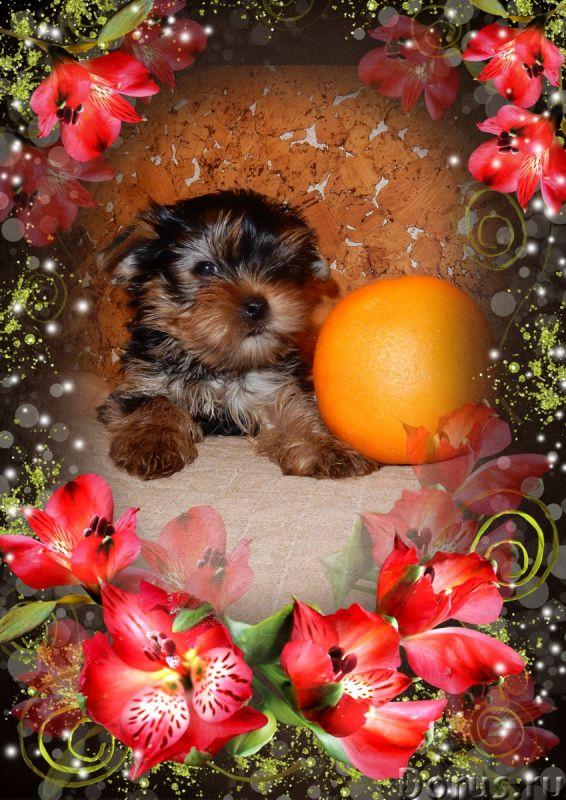 Щенки йорка доставка - Собаки и щенки - Очаровательные щеночки йоркширского терьера, из профессионал..., фото 2