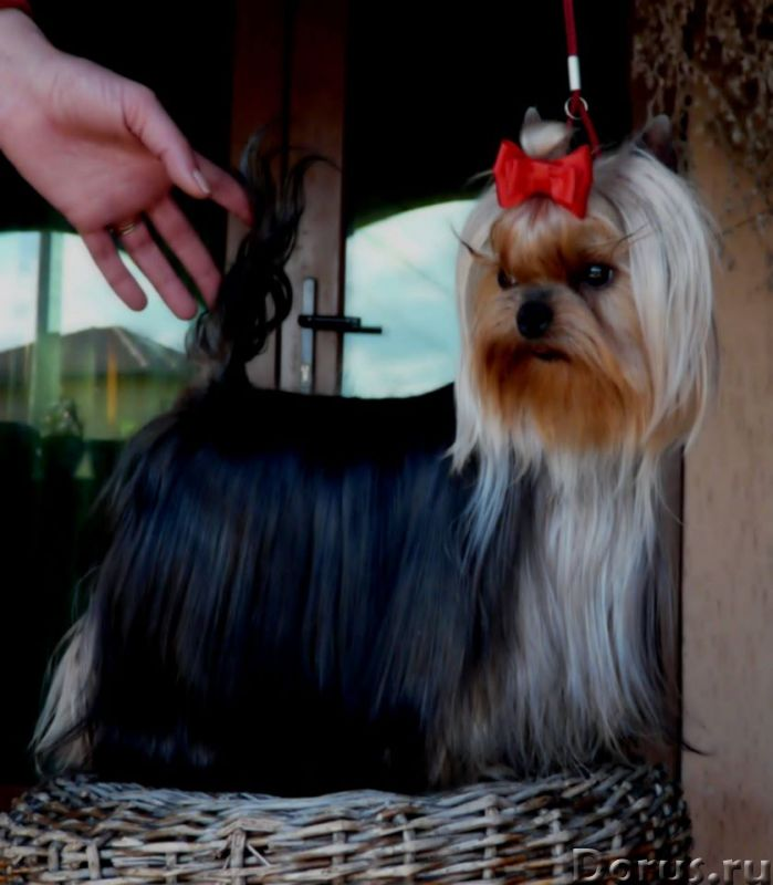Щенки йорка доставка - Собаки и щенки - Очаровательные щеночки йоркширского терьера, из профессионал..., фото 3