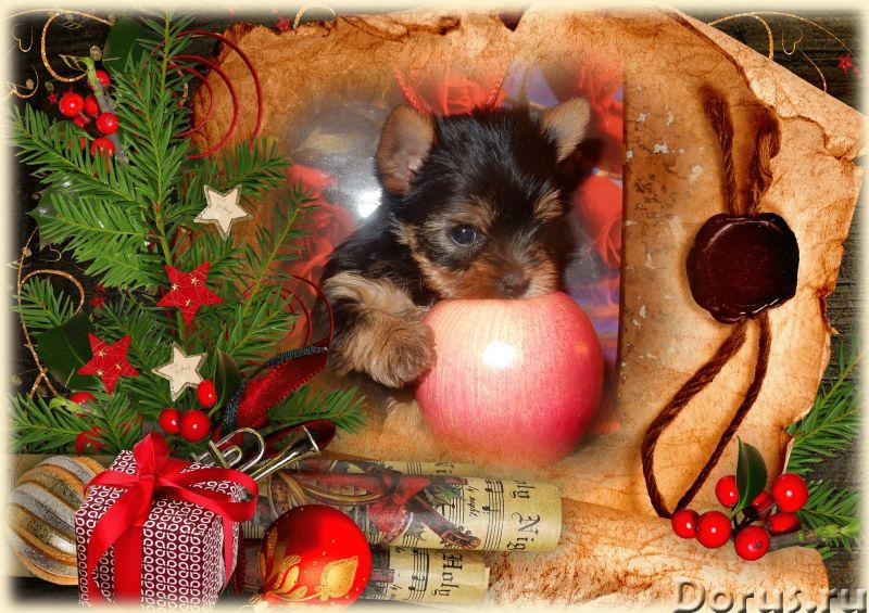 Йоркширские терьеры щенки,из питомника - Собаки и щенки - КРАСИВЫЕ породные щенки йорка из племенног..., фото 3