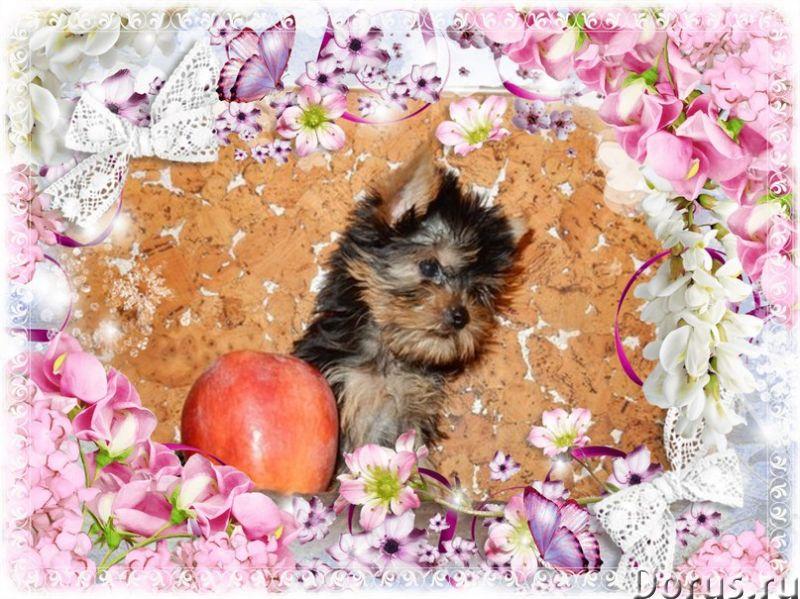 Йоркширские терьеры щенки,из питомника - Собаки и щенки - КРАСИВЫЕ породные щенки йорка из племенног..., фото 4